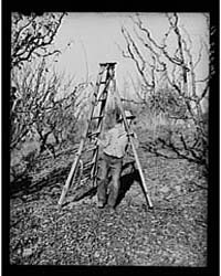 Farm Boy Taking Ladder to Tree Which He ... by Library of Congress