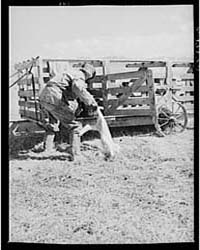 Ravalli County, Montana Putting New Lamb... by Library of Congress